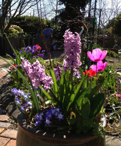 Container of Spring flowers -- purple hyacinth, pink anemones and others.  Background of early Spring garden yet to bloom.